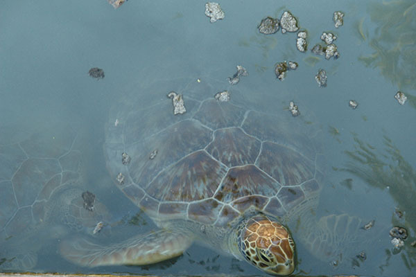 A turtle swims in Charlie's marine lab at the Bang Bang Club