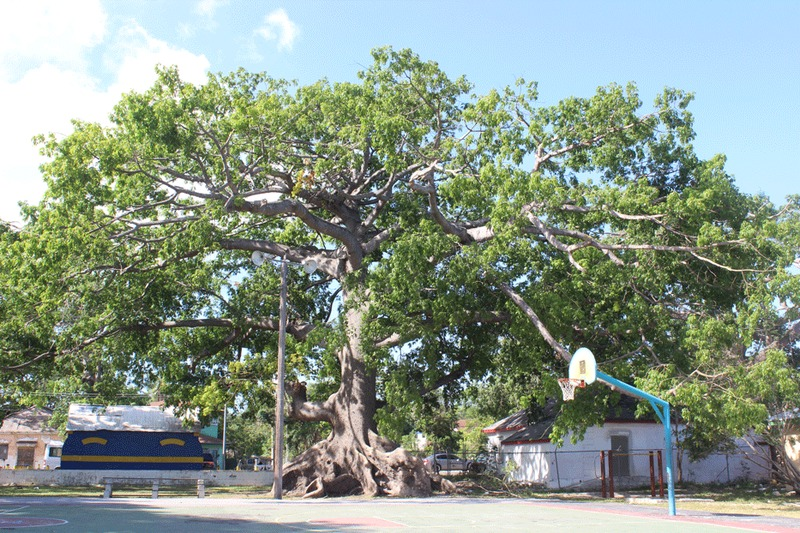 The silk cotton trees of The Southern Recreation Grounds